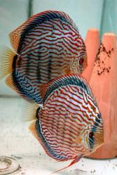 alex-piwowarski-red-turquoise-discus-breeder-pair.jpeg
