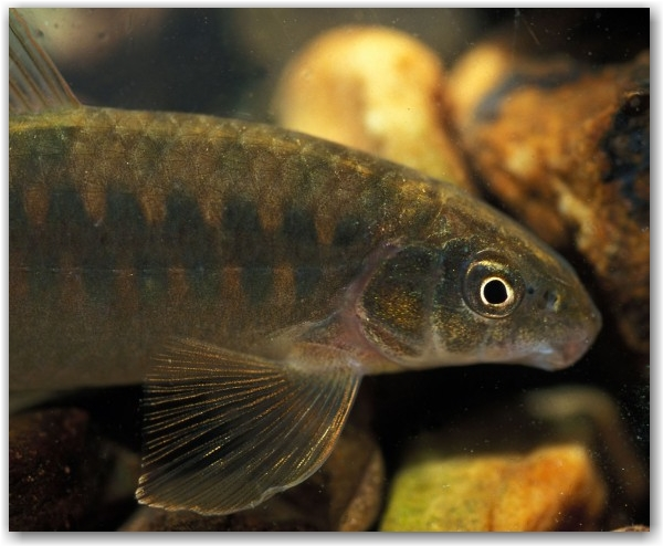 Pearson described in 1924 a Characidium from this area, as C. bolivianum, but I cannot match his description to this beauty, which I found in fast flowing very shallow mountainous stream gliding over rocks, almost impossible to catch (note the large pectoral fins), took me 6 hours…