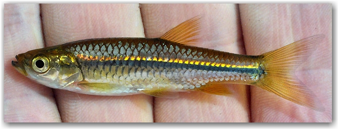 35.-Rasbora-daniconius India_Jan.2009_N.Khardina