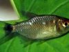 I found also an red eye Moenkhausia, still unidentified, I believe a new species, also from this pond.