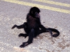 if lucky even spider monkey in the middle of the road; and