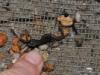 03_Salamanderfish_in_the_net_June09_H.Bleher_thumb