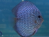 discus_striped
