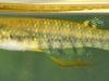18.-Aplocheilus-blockii-adult-female-India_Jan.2009_N.Khardina