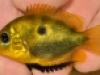 24.-Etroplus-maculatus-male_India_Jan.2009_N.Khardina_thumb