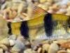 34.-Puntius-sp.-1-juvenile-_India_Jan.2009_N.Khardina